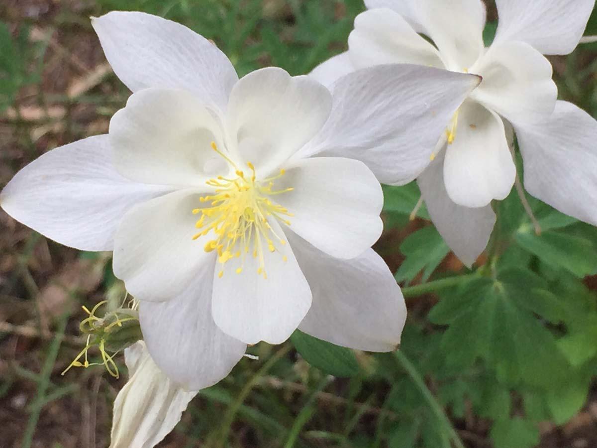 Columbine white and yellow - Utah native plant - landscape maintenance