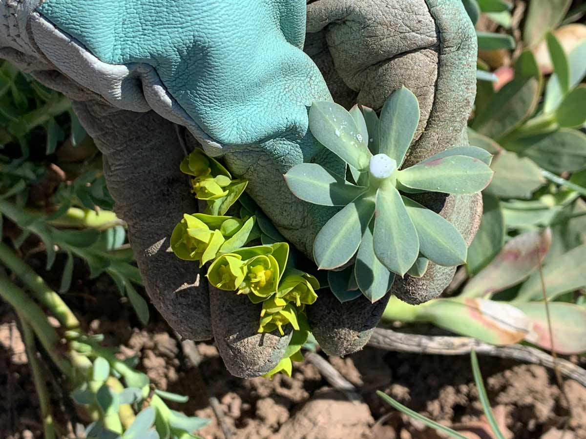 Myrtle Spurge - Noxious and Obnoxious Weed Control